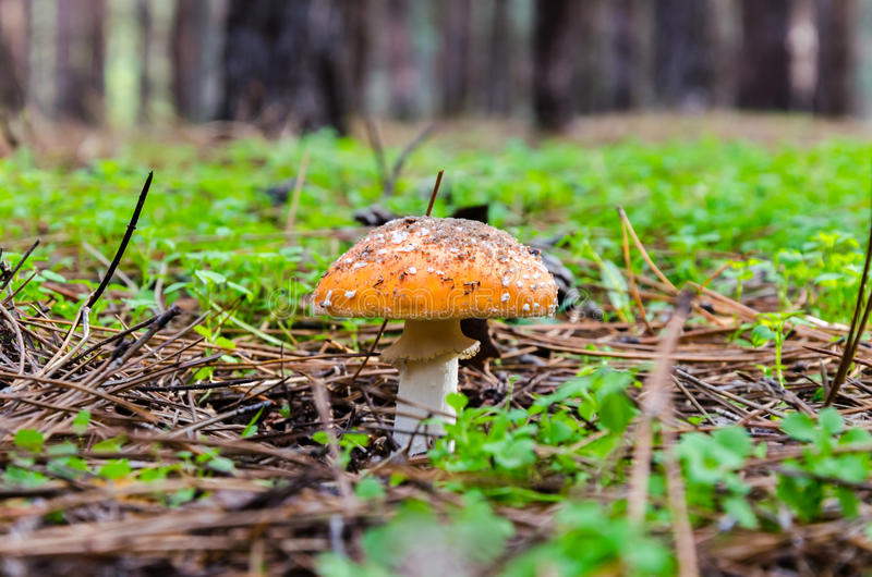 Setas que crecen en el bosque foto de archivo