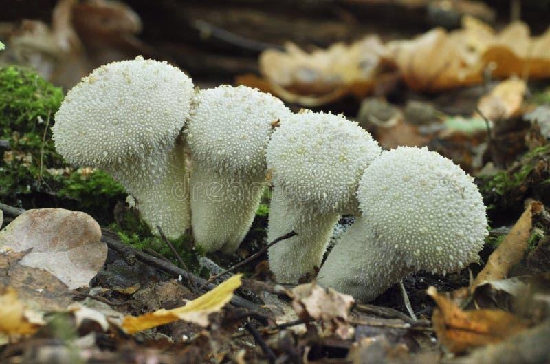 Setas que crecen en el perlatum del Lycoperdon del bosque del otoño fotos de archivo libres de regalías