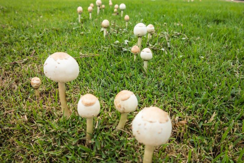 Setas que crecen en hierba imagenes de archivo