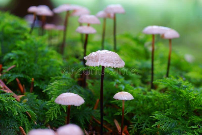 Download Setas Salvajes Que Crecen En Bosque De La Conífera Foto de archivo - Imagen de otoñal, europa: 44852760