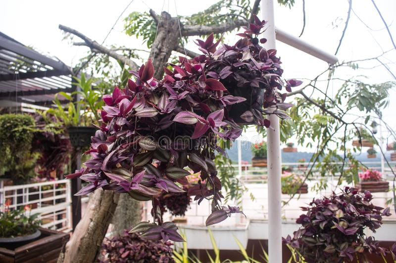 Setcreasea purpurea flower plant. The setcreasea purpurea flower plant stock photo