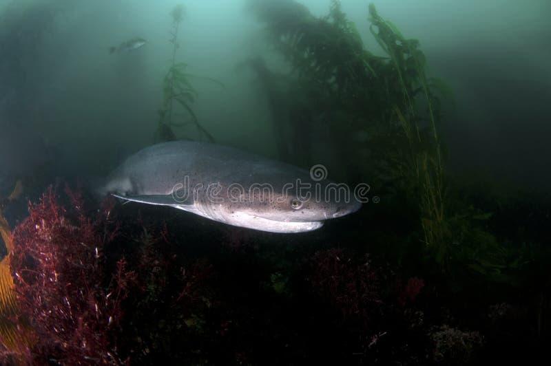 Sete Gill Shark fotografia de stock royalty free