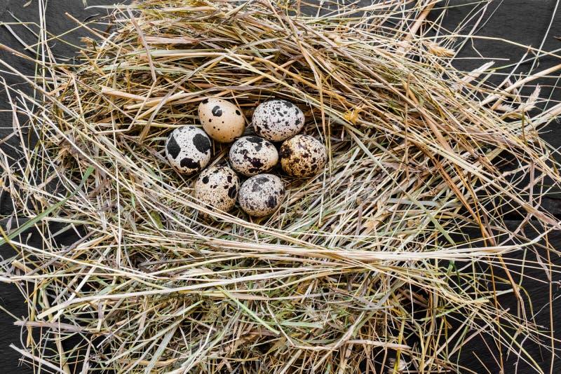 Sete ovos de codorniz em Hay Nest foto de stock