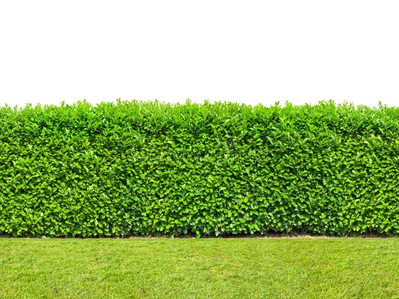 Seto alto del arbusto con la hierba aislada en blanco Sin fin inconsútil imagen de archivo