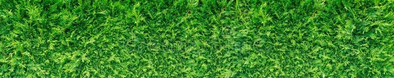 Seto verde del thuja imagen de archivo