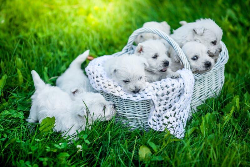 Sette cuccioli West Highland Terrier bianco in un canestro con le belle luci a fondo immagine stock