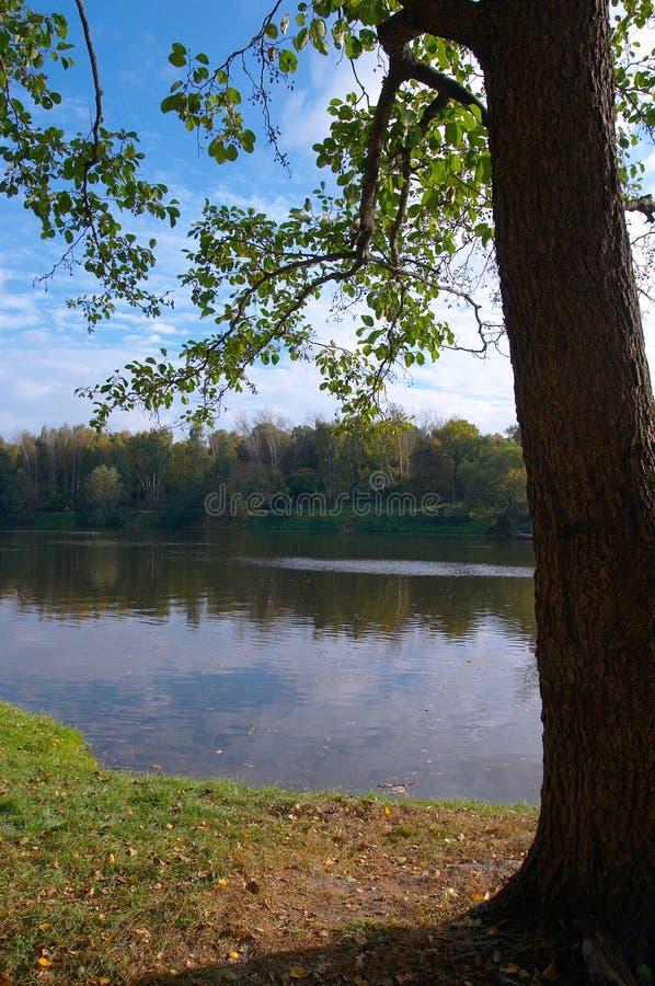 Settembre il Linden sul litorale del lago fotografie stock libere da diritti