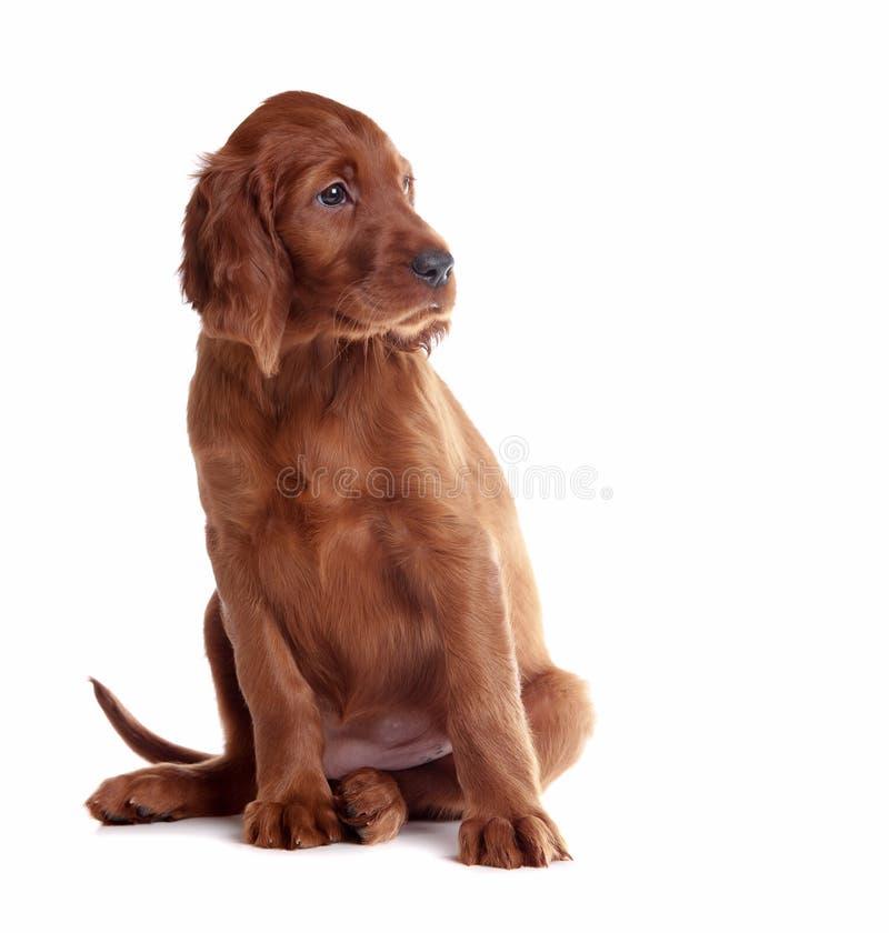 Setter do filhote de cachorro fotos de stock royalty free