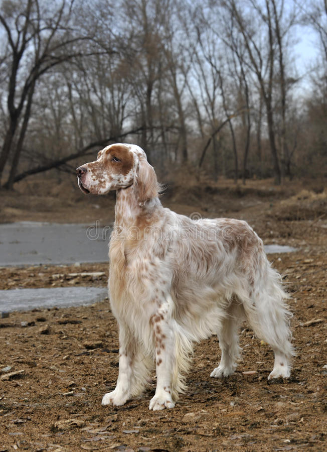Setter do inglês do animal de estimação do cão imagens de stock