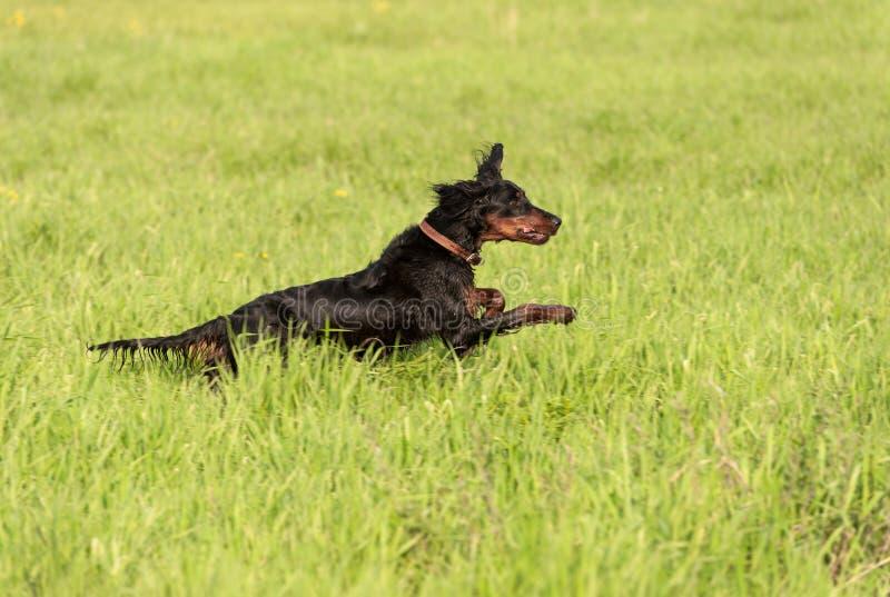 Download Setter gordon stock photo. Image of pursuit, doggy, gordon - 20187046