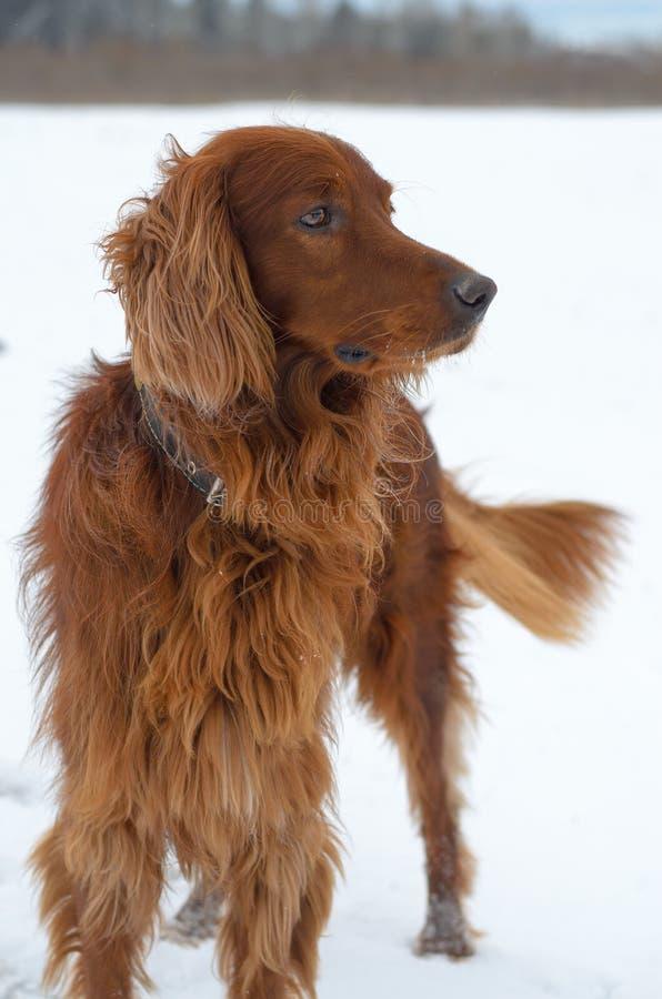 Setter i snön. royaltyfria bilder