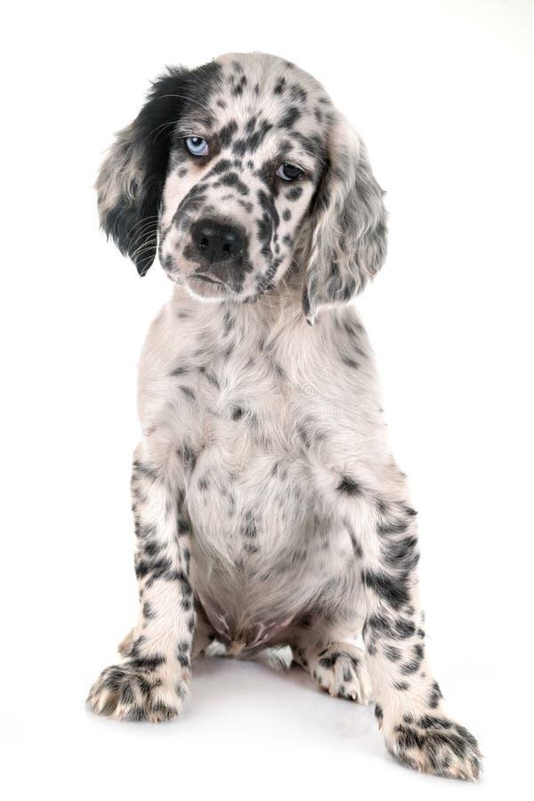 Setter inglês do cachorrinho fotografia de stock