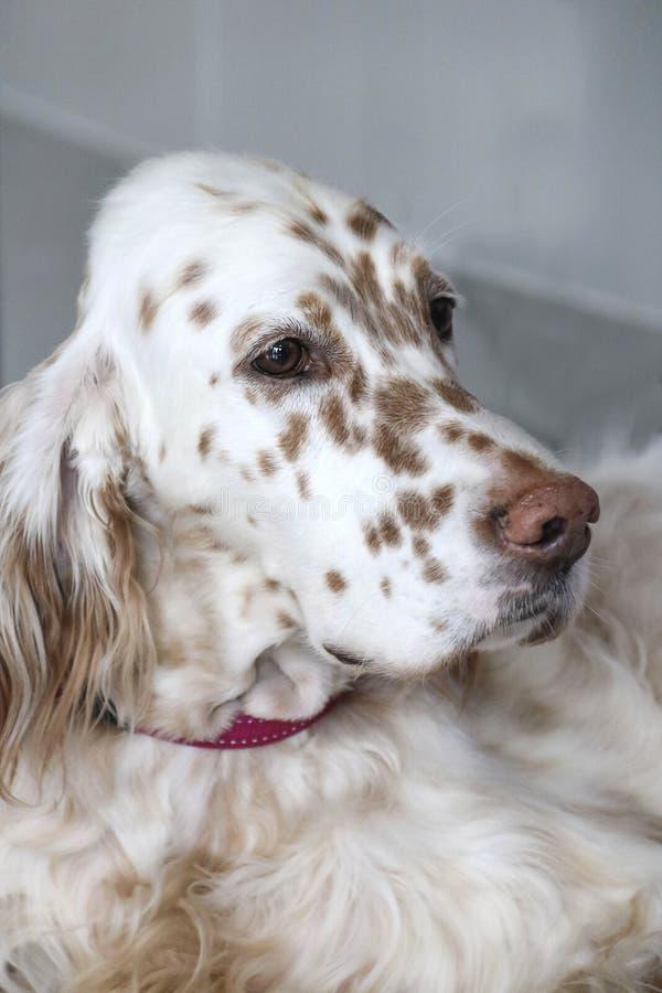 Setter inglese del cane fotografie stock libere da diritti