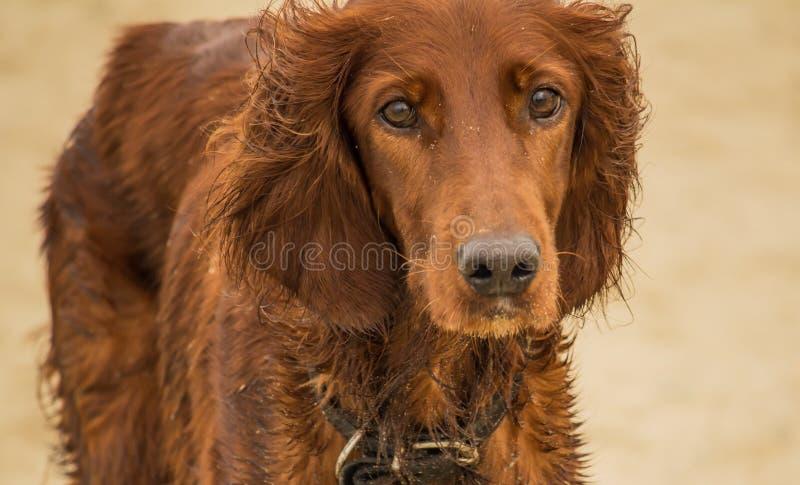 Setter irlandés rojo, perro para una caza imágenes de archivo libres de regalías