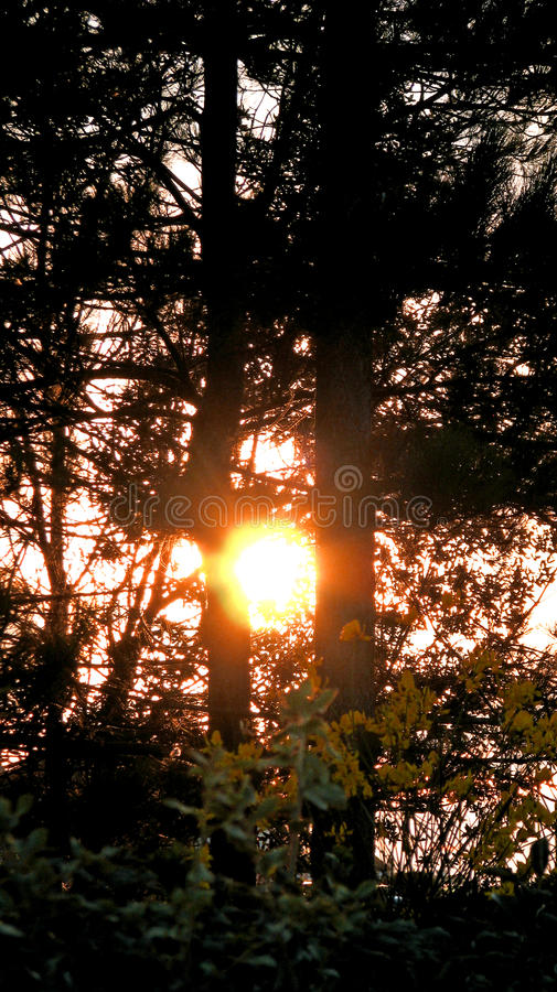 Setting autumn sun through trees. Photo of a beautiful setting autumn sun filtering between two tall tree trunks royalty free stock images
