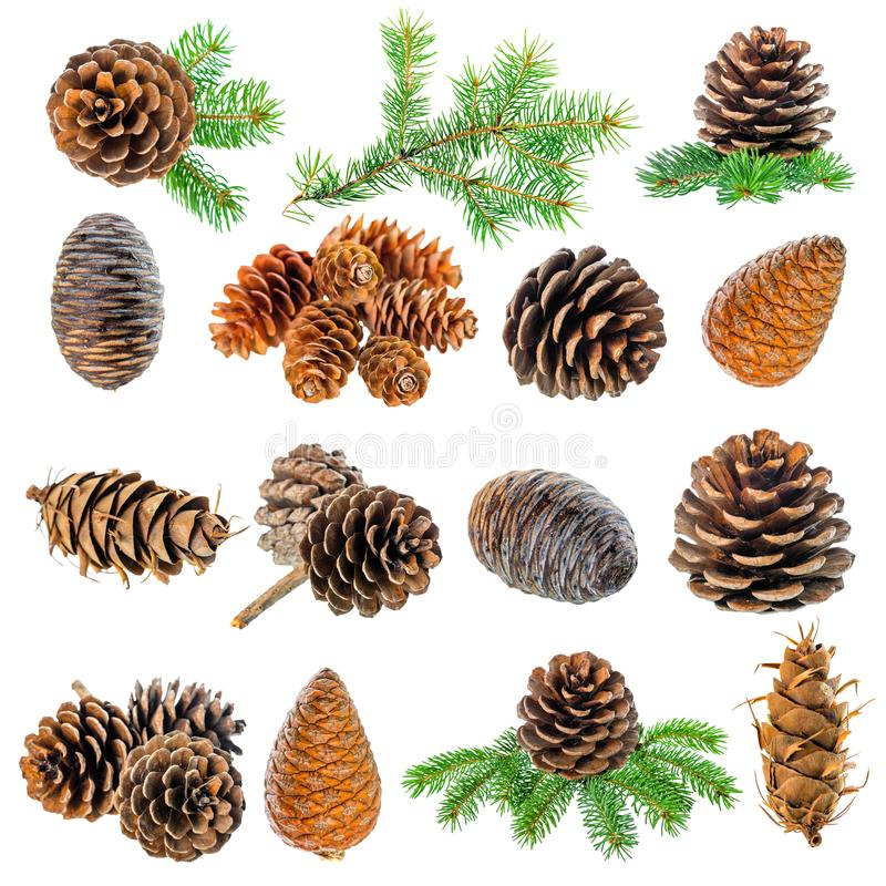 Setting Christmas decoration of fir tree branch and cedar cones royalty free stock photography