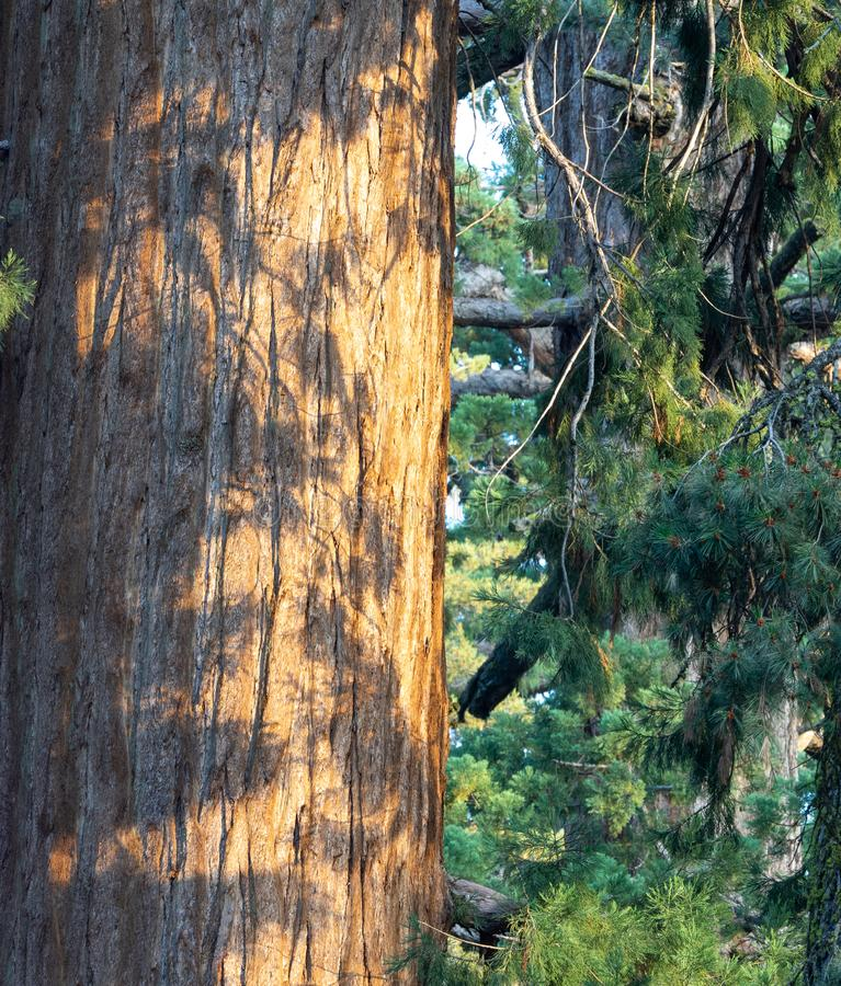 Shadows on tree trunk royalty free stock photos