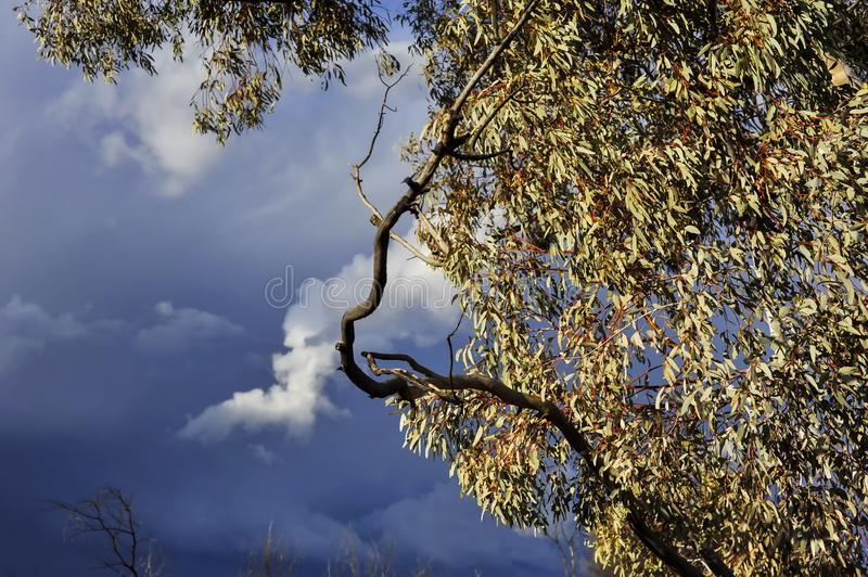 Setting sun on eucalypt leaves, with a severe thunderstorm developing, outback Australia. royalty free stock photo