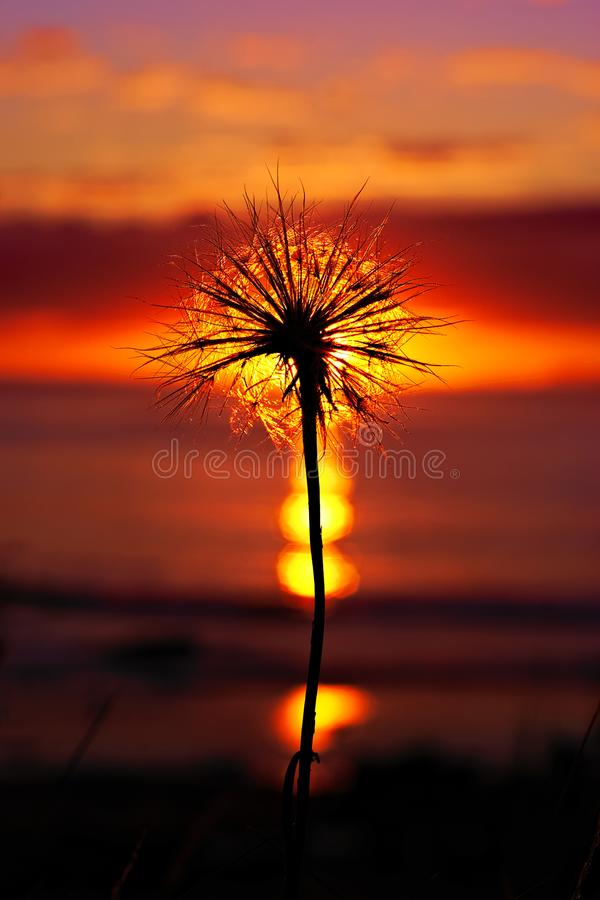 Dandelion seaside sunset. Setting sun and its reflections in the sea behind a dandelion seed royalty free stock photography
