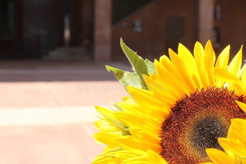 Setting Sunflower royalty free stock image