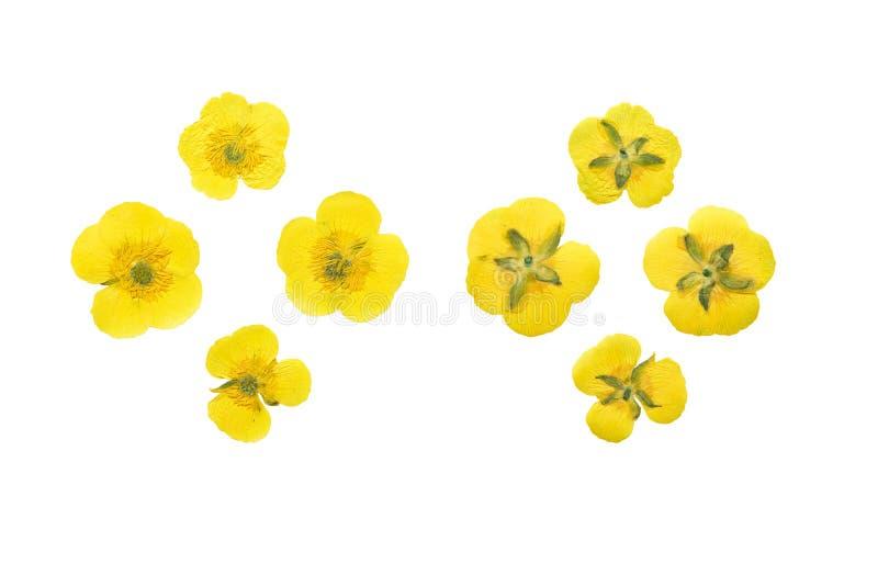 Setu naciskający i suszący kwiatu łąkowy jaskier odosobniony obraz stock