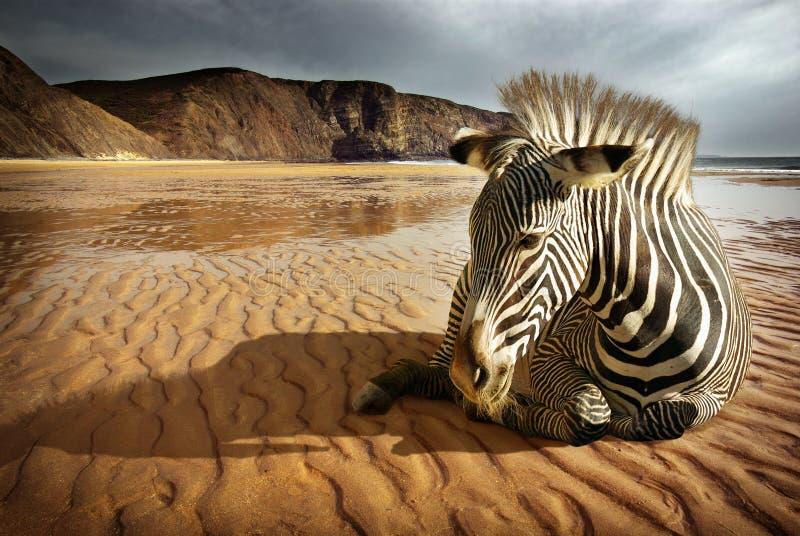 Setzen Sie Zebra auf den Strand stockfotos