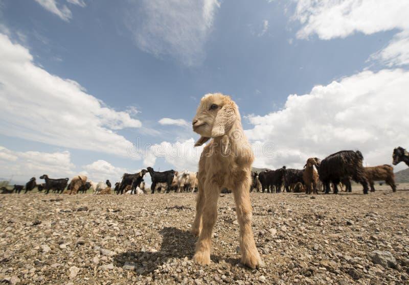 Seul agneau photos libres de droits