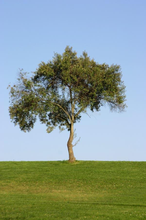 Download Seul arbre photo stock. Image du zone, solitaire, vert - 733418