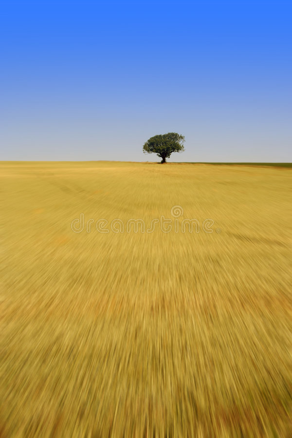 Seul arbre dans le domaine de maïs images libres de droits