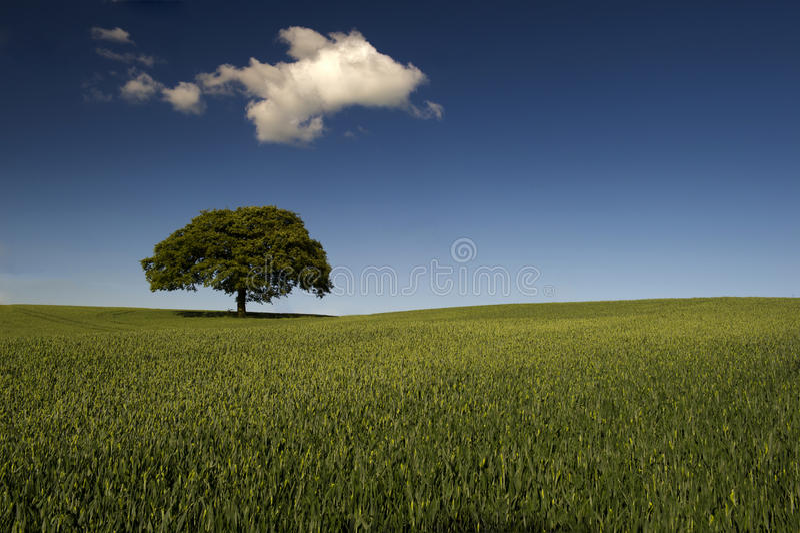 Seul arbre dans le domaine vert image libre de droits