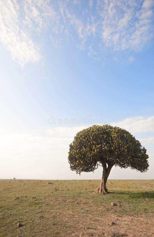 Seul arbre de candélabres à Mara, Kenya photographie stock libre de droits