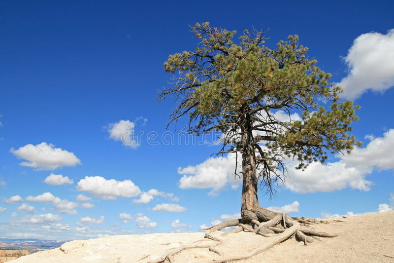 seul arbre de pin photo stock