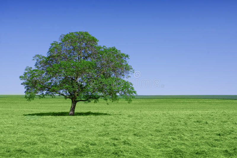 Seul arbre vert en nature image libre de droits