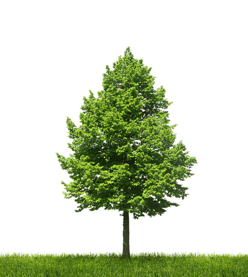 Seul arbre vert sur le fond blanc photographie stock