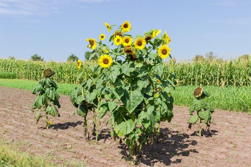 Seul groupe de tournesols fleurissants et de maturations sur le champ photographie stock libre de droits