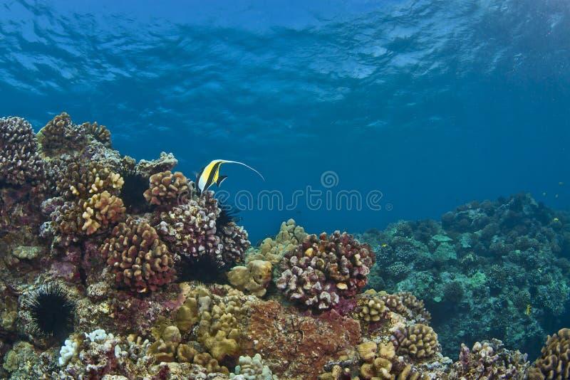 Seul idole maure sur un récif hawaïen photos libres de droits