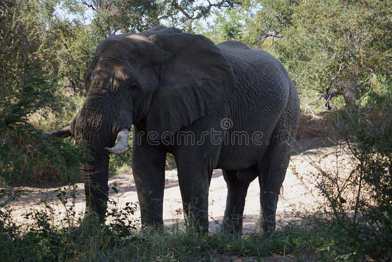 Seul parc national de Kruger d'éléphant africain dans la région sauvage photos stock