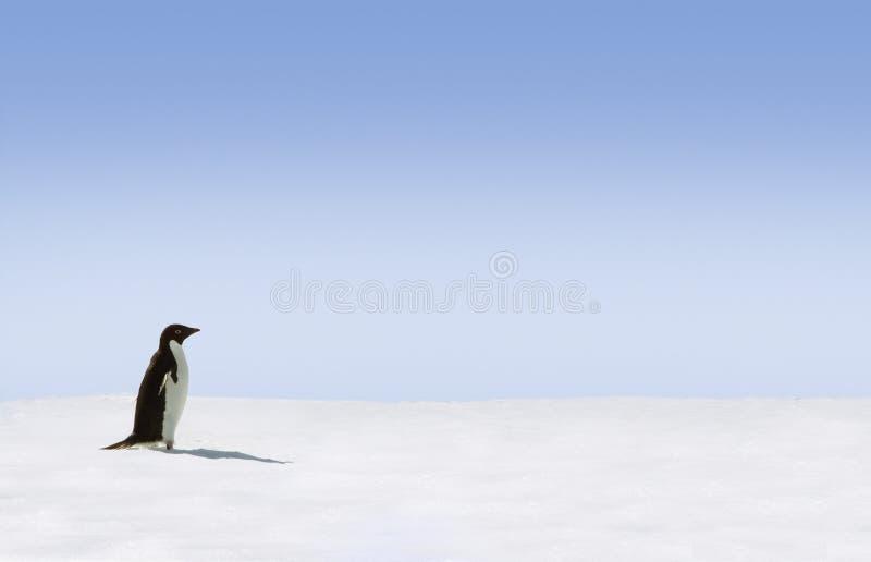 Seul pingouin d'adelie image stock