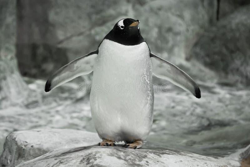 Seul un pingouin se tient sur une roche Un pingouin sous-antarctique mignon ?pais se tient r?pandant ses ailes de nageoire photos stock