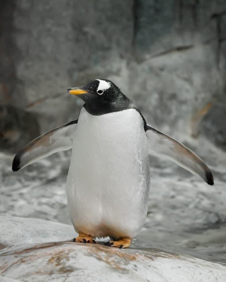 Seul un pingouin se tient sur une roche Un pingouin sous-antarctique mignon ?pais se tient r?pandant ses ailes de nageoire photographie stock libre de droits