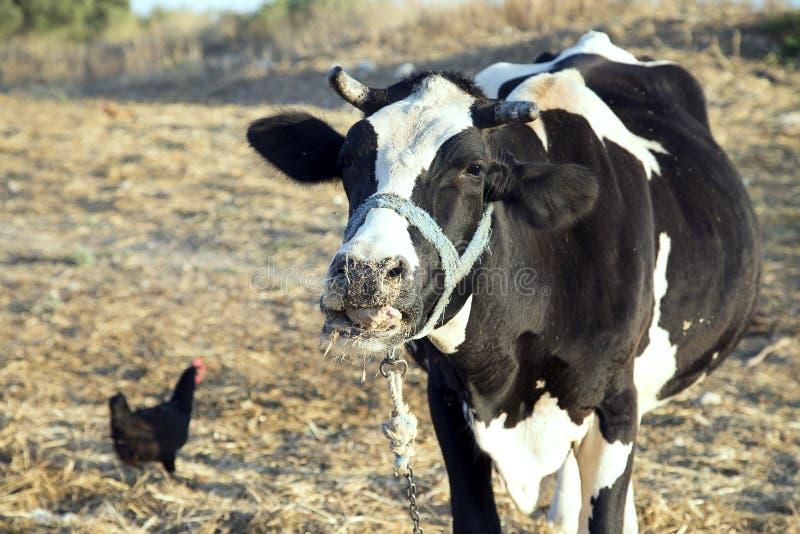 Seul un support de vache avec un poulet ensemble à la ferme images libres de droits