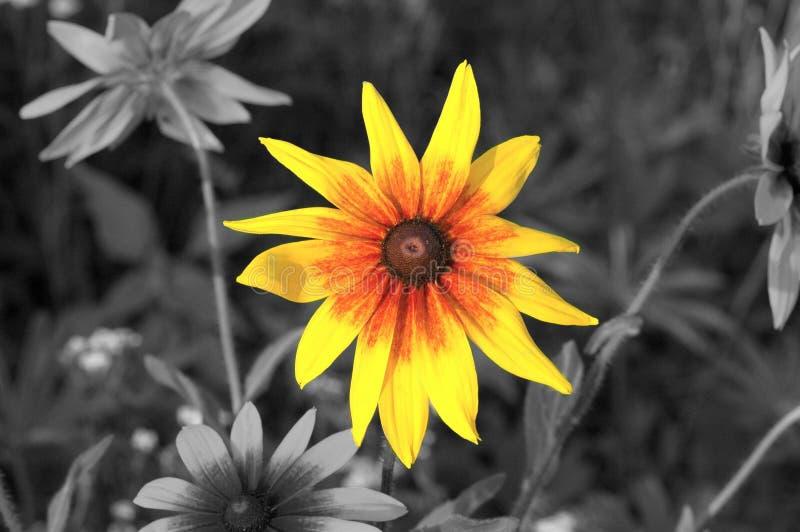 Seule fleur jaune photos stock