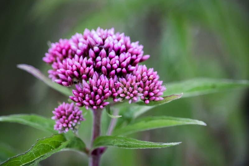 Seule fleur violette parmi le champ image libre de droits