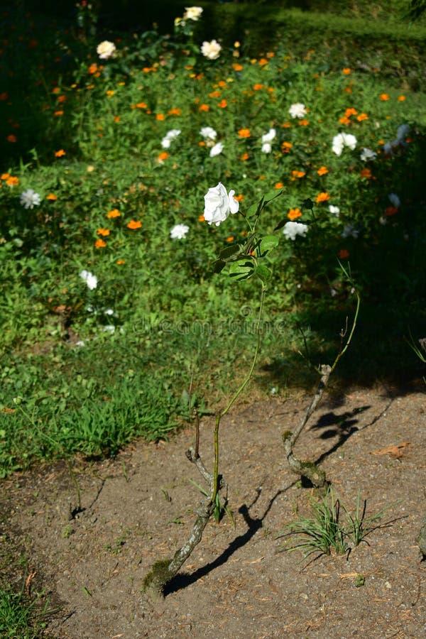 Seule rose de blanc parmi les fleurs volées image stock