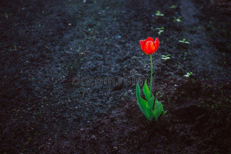 Seule tulipe lumineuse rouge contre la terre foncée Concept de solitude, contraste, force essentielle photos stock