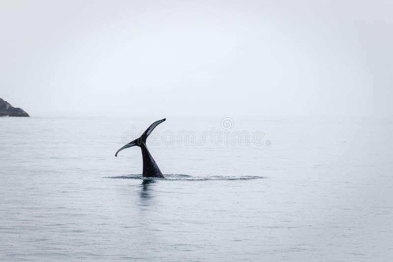 Seulement la queue reste pendant que l'orque ou l'épaulard disparaît image libre de droits