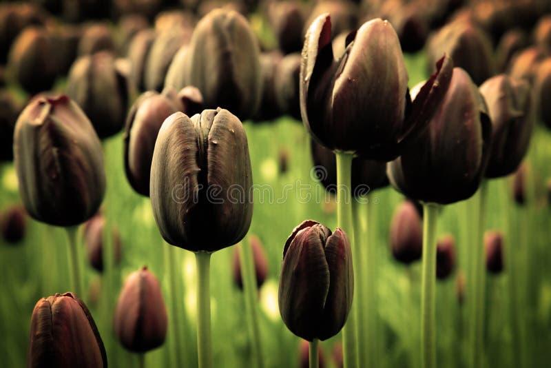 Seules fleurs noires de tulipe photos stock