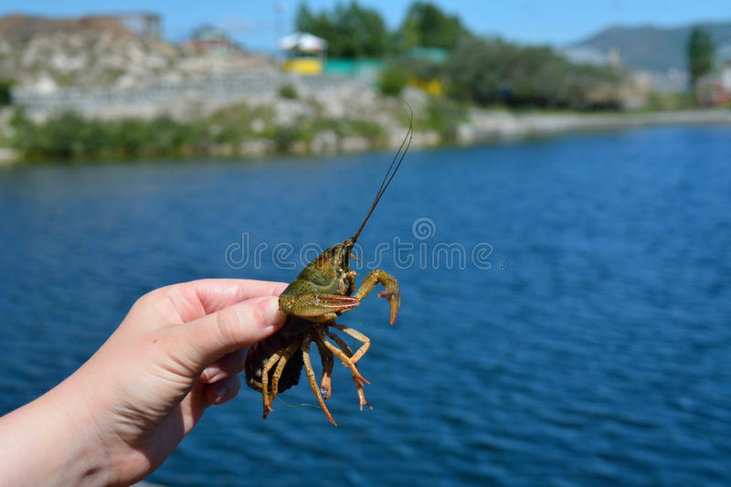 Sevan live crayfish in a woman's hand stock image