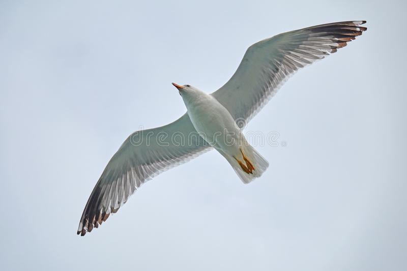 Sevans seagullfluga royaltyfria bilder