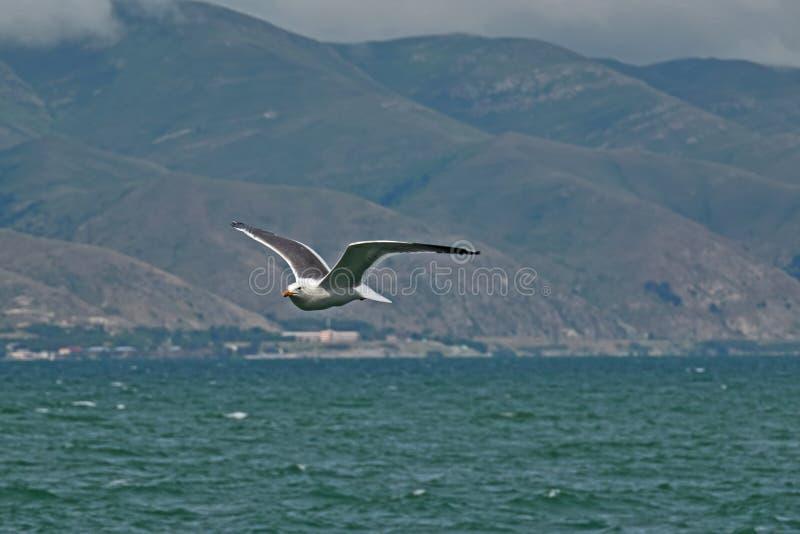 Sevans seagullfluga fotografering för bildbyråer